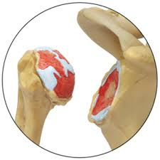 анатомическии картинка тазобедренный сустав