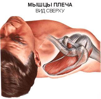 ...ротаторной манжеты, распространенному повреждению плеча, что является.